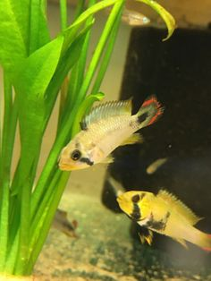 Pair of Apistogramma Panduro Red Cherry Shrimp, South American Cichlids, Brine Shrimp, Live Aquarium Fish, Sand And Gravel, Red Mask, Cockatoo, Freshwater Fish, Tropical Fish