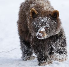 Little Grizzly Bear