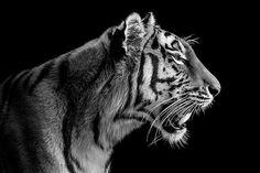 Wolf Ademeit, Tigress Portrait, 2013 / 2014 © www.lumas.com #lumas