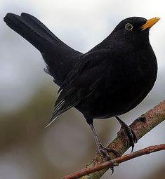 クロウタドリ  Blackbird (Turdus merula)