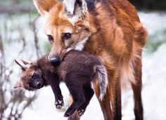 Pet Wolf, Wolf Husky, Animals And Pets, Baby Animals, Cute Animals, Beautiful Wolves, Animals Beautiful, Cool Pictures Of Animals, Maned Wolf