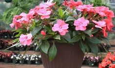 New Guinea Impatiens are blooming annuals that are easy to grow producing large flowers in bold summer colors. These plants originating from New Guinea require good, well-drained soil, adequate moisture, and afternoon shade.  McDonald Garden Center