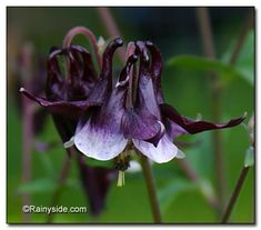 this columbine has an attractive deep purple flower, which is so dark it appears to be nearly black!