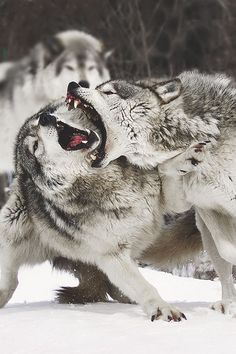 Tumblr Beautiful Pictures, gray wolf canis lupus