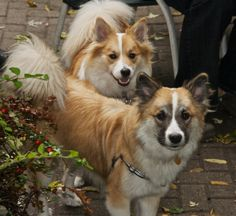 Viggo and Tinni. Love Tinni's wider snout and puffin eyes. :) these are my favorite colors! such a beautiful, happy looking dogs. Icelandic Sheepdog, Icelandic Horse, Small Puppies, Small Dogs, Small Dog Breeds, Nalu, Foxes, Adorable Animals, My Favorite Color