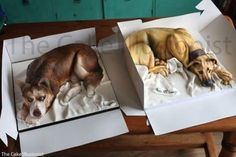 cake dogs in cake boxes