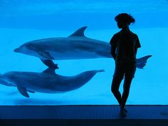 While captive breeding programs for marine mammals do have some benefits, it is worth taking a look at the negative sides as well. Follow the story here. http://aquaviews.net/ocean-news/negative-side-captive-breeding-programs-marine-mammals/