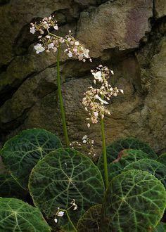 Begonia goegoensis 100917-0540 | Flickr - Photo Sharing!