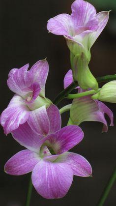 Dendrobium - Flickr - Photo Sharing!
