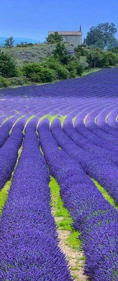 Incredible Lavender Field