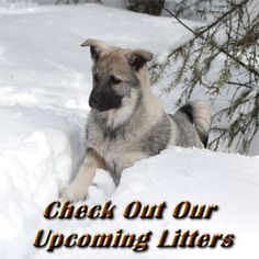 Norwegian Elkhound – Kamia Kennels  One of the oldest and most respected dog breeds in the world, the Norwegian Elkhound has been bred for over 4,000 years by Vikings, hunters, hikers, and Kings o…