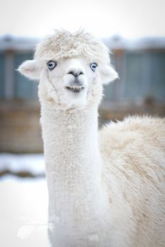 Alpaca fleece is a premium fiber and in high demand in the Knitting, crochet & fashion industry. That's why we love it!