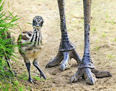 Little Emu--what a cutie, look at the blade of grass in his mouth.