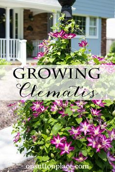 Easy clematis vine growing tips & care advice. Grow a clematis plant along a fence, on a plant trells or around a light post. The clematis flower comes in an amazing array of bright colors! Clematis Plants, Clematis Flower, Clematis Vine, Garden Plants, Fruit Garden, House Plants, Beautiful Gardens, Beautiful Flowers, Rare Flowers