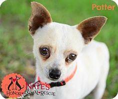 Bradenton Fl Chihuahua Mix Meet Minnie A Dog For Adoption