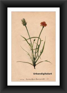 Grass Leaved Agaseris-Downloadable Vintage  Art by UrbanDigitalArt