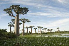 La Avenida o Paseo de los baobabs es un prominente grupo de árboles baobab que recubre el camino de tierra entre Morondava y Belon'i Tsir...
