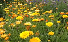 Hot Dots by Live Mulch for 2015! #yellowflower #orangeflower #calendula #groundcover #livemulch $14.99