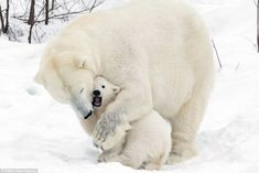The bear necessities: The two bears cuddle in the snow as the cub opens its mouth while its mother wraps her arm around it.  Pictures were taken by 64-year-old John Daniels from Surrey on a trip to Ranua Wildlife Park in Finland