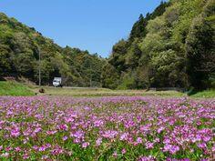 """片柳弘史さんのツイート: """"県道沿いの畑で、レンゲが満開を迎えていました。ピンク色の絨毯です(^o^) https://t.co/OwzM0cePQ2"""""""