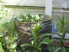 How to Grow Potatoes in Barrels via www.wikiHow.com