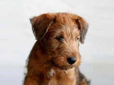 Gimme that puppy! irish terrier