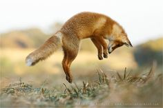 Image result for fox jumping