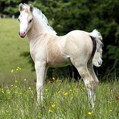 Section B Welsh Pony filly *Waxwing Martini