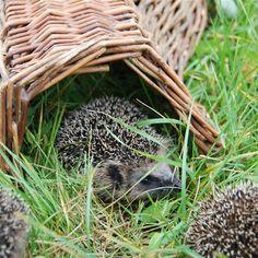 Egels maken graag nestjes onder bladeren of takken. In onze opgeruimde tuinen is er dus vaak geen plek voor een egel te vinden om een nestje te maken. De egelmand van Esschert Design is daarom de perfecte manier om egels te verwelkomen in de tuin.