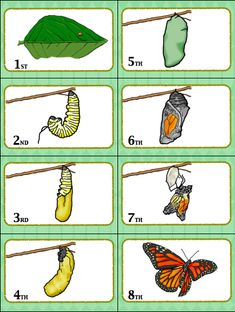 Have a blast learning the butterfly life cycle with this fun butterfly life cycle sequencing card game. Your students will love this! life cycle Get this exciting butterfly life cycle card game! Sequencing Cards, Sequencing Activities, Activities For Kids, Spring Activities, Alphabet Activities, Butterfly Games, Super Fun Games, Pete The Cats, Alphabet Pictures