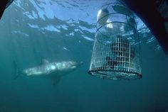swim with great white sharks...i WILL do this before I die..