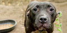 Ban Dogfighting in Mexico PETITION - Care2 News Network