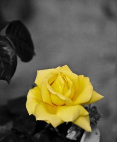 A photograph of a yellow rose in black and white with a splash of color. To purchase please go to http://memoriesoflove.imagekind.com/