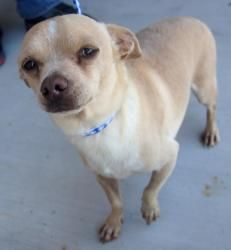 Paco is an adoptable Chihuahua Dog in Carrollton, TX. Paco is a little shy at first and will need time to adjust to his new environment. However, once he gets to know you he will jump in your lap and ...