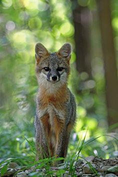 Grey Fox by mydigitalmind - Melissa Mancuso Penta