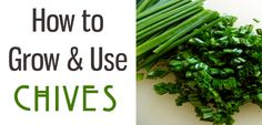 How to Grow and Use Chives