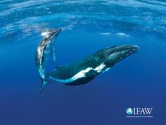 Free IFAW wallpapers for any of your screens!   IFAW.org