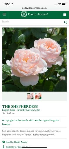 Shrub Roses, David Austin, English Roses, Shrubs, Fragrance, Flowers, Plants, Pink, Shrub