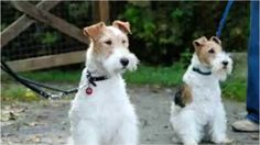 Top 10 Amazing Facts About Wire Fox Terrier- Wire Hair Fox Terrier  >♥..♥<