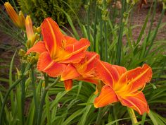 Most people don't equate daylilies with drought tolerance, but these hardy blooms love dry weather and full sun