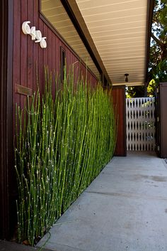 Bamboo foundation plants for privacy. Mid Century Modern
