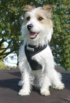Mako Wirehaired Jack Russell Terrier Dog breed