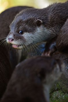 Baby Otter Pups For Everyone!