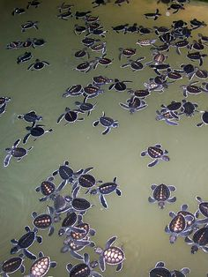 Turtle Conservation Project, Kosgoda, Sri Lanka. Love turtle sanctuaries. Love Sri Lanka <3