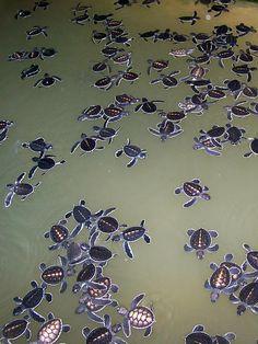 Turtle Conservation Project in Kosgoda. Kijk voor meer reisinspiratie op www.nativetravel.nl