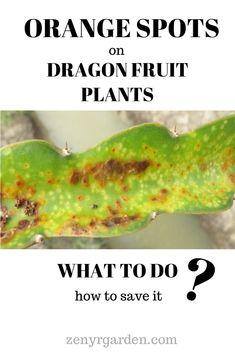 Orange spots on my dragon fruit plant How To Grow Dragon Fruit, Dragon Fruit Plant, Plant Bugs, Garden Bug Spray, Garden Bugs, Plant Diseases, Fruit Plants, Exotic Food, Gardening Tips