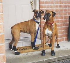 Boxer Rescue Quebec Adopt and Rescue a Boxer Dog - About Boxers