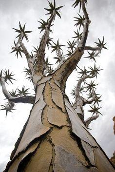 ['Árbol de Aljaba en Spitzkoppe, Namibia' • Foto: Roy Toft] > [*- Árbol de Aljaba: Áloe tropical que forma un árbol, cuyas ramas huecas eran usadas antiguamente por los San (bosquimanos), como aljabas. | Aljaba: Bolsa o caja en forma de tubo, generalmente ensanchada en su parte superior, que se empleaba para llevar flechas; se llevaba colgada del hombro izquierdo mediante una correa, para poder agarrar las flechas con la mano derecha.] » A Quiver tree