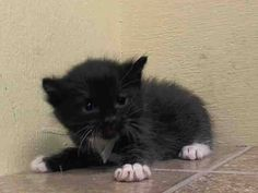 TO BE DESTROYED 5/19/14 ** BABY ALERT!! Adorable kitten, Cupid only has tonight. Please share far and wide, adopt, foster or sponsor until he can be placed through one of the rescues. Don't wait!!  * Manhattan Center  My name is CUPID. My Animal ID # is A0999778. I am a male black and white domestic sh mix. The shelter thinks I am about 4 WEEKS old.  I came in the shelter as a STRAY on 05/14/2014 from NY 10458. I came in with Group/Litter #K14-177351.