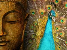 The story of the Buddha and the Peacock is the theme for my life's purpose